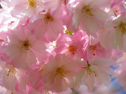 bloom-blossom-cherry-blossom-86709